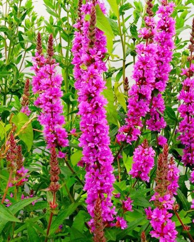 lythrum-salicaria-robert-