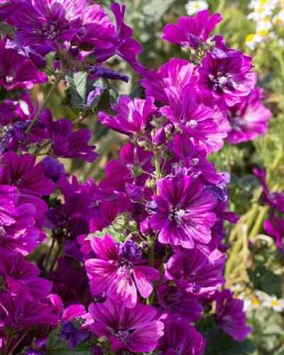 malva-sylvestris-ssp-mauritiana
