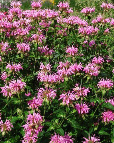 monarda-croftway-pink
