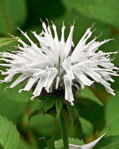 monarda-snow-white