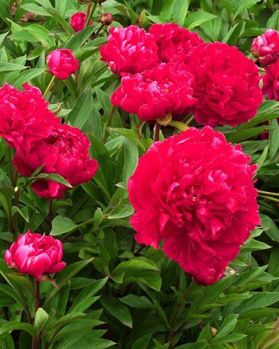 paeonia-karl-rosenfield
