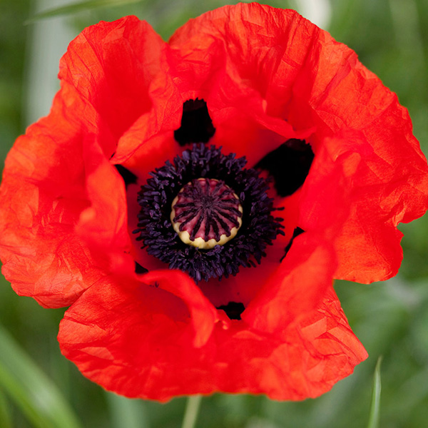 papaver-beauty-of-livermere