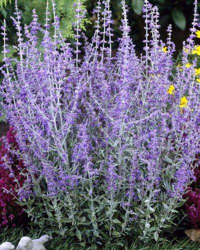 perovskia-atriplicifolia-little-spire