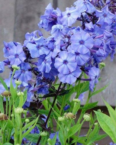 phlox-blue-paradise