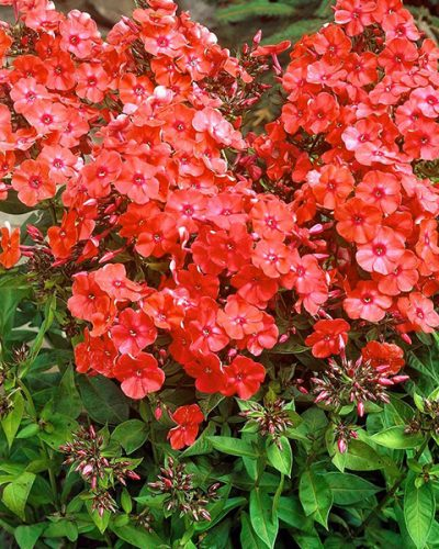 phlox-orange-perfection