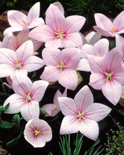 platycodon-grandiflorus-fuji-pink