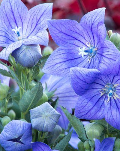 platycodon-grandiflorus-sentimental-blue