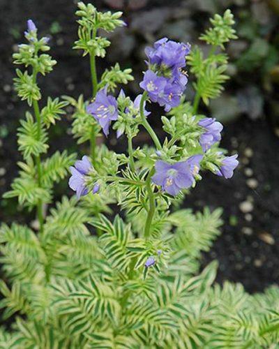 polemonium-caeruleum-brise-d-anjou-