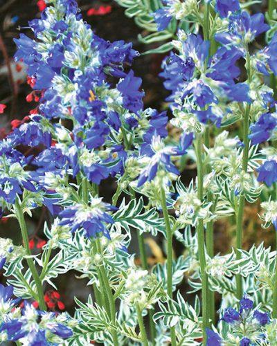 polenomiun-caeruleum-snow-and-sapphires