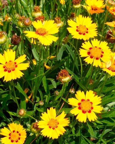 COREOPSIS-Grandiflora-Sufire