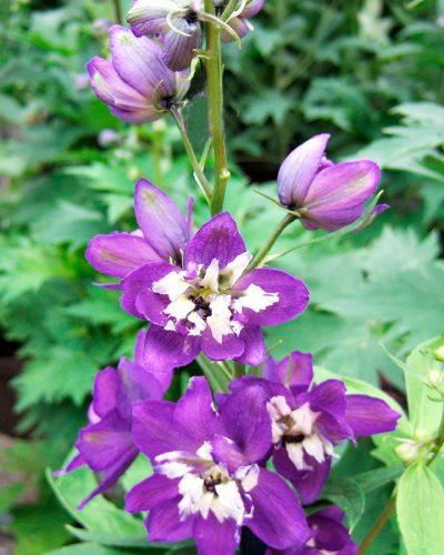 DELPHINIUM-Elatum-Aurora-Deep-Purple