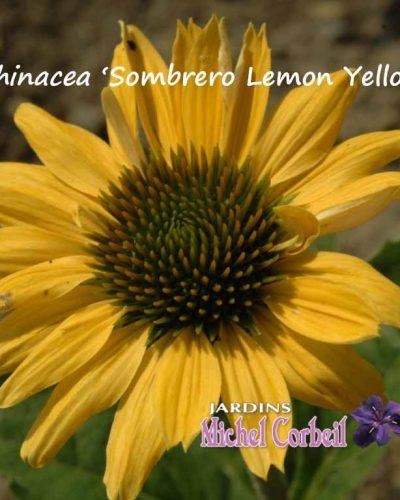 Echinacea 'Sombrero Lemon Yellow' – Echinacée – Conflower