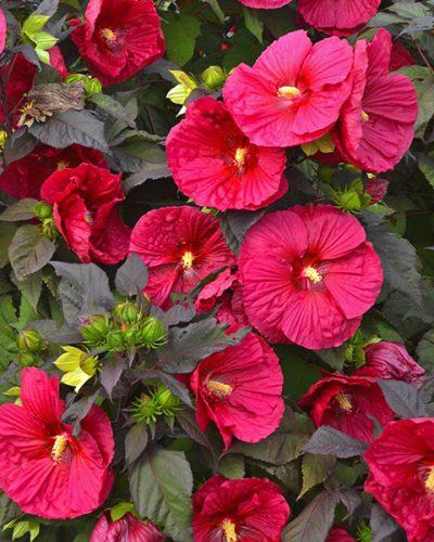 Hibiscus-Mars-Madness-jardins-michel-corbeil