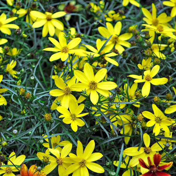 coreopsis-Mayo-Clinic-Flower-of-Hope