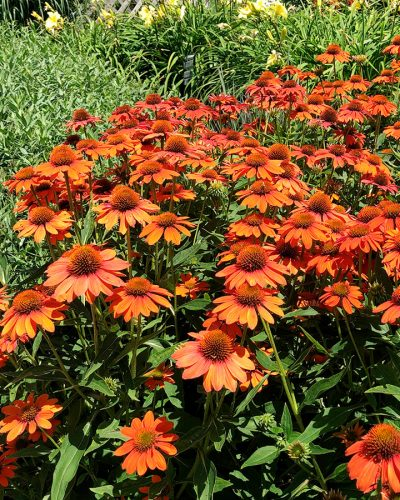 echinacea-sombrero-adobe-orange