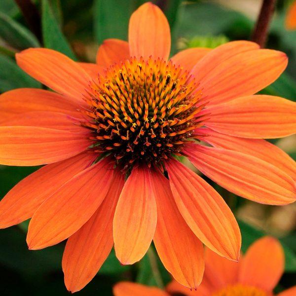 echinacea sombrero adobe orange jardins michel corbeil