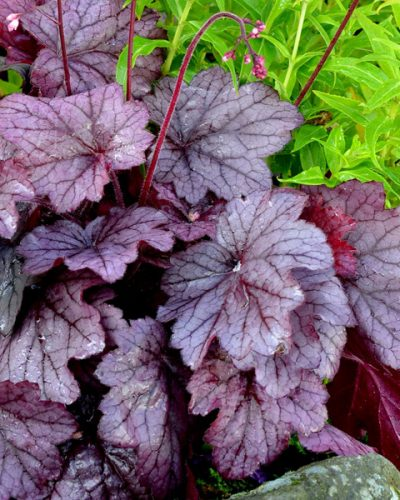 heuchera-georgia-plum