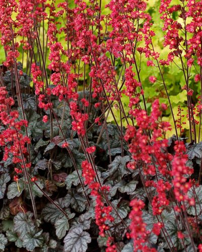 heuchera-hollywood