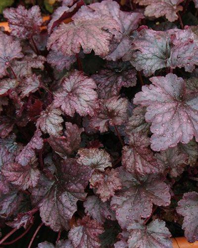 heuchera-hybrida-amethyst-mist