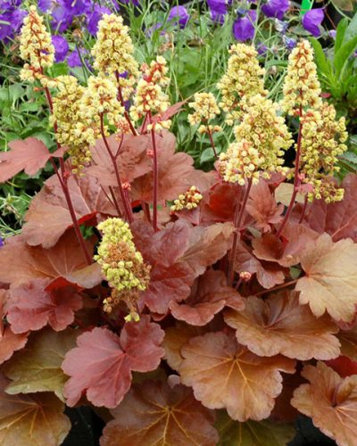 heuchera-hybrida-blondie