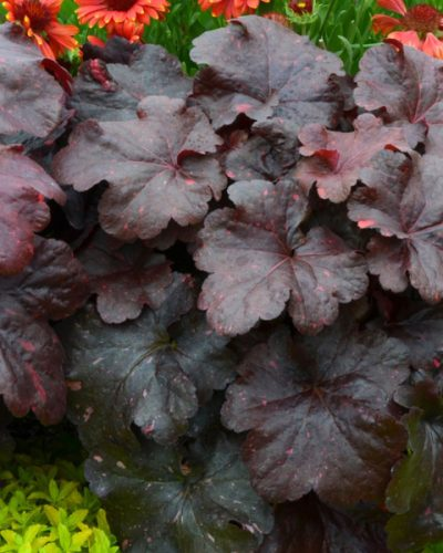 heuchera-hybrida-galaxy