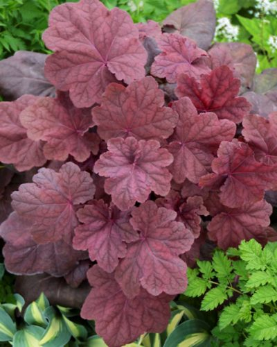 heuchera-lava-lamp