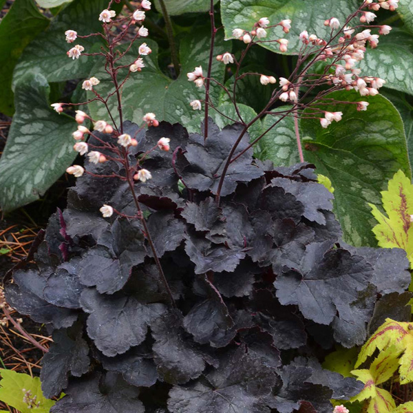 heuchera-little-cutie-coco