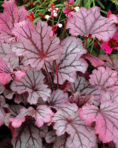 heuchera-sugar-berry