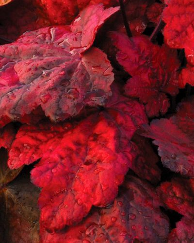 heuchera-x-hybrida-autumn-leaves