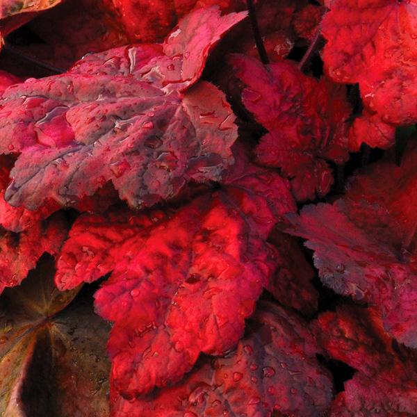 heuchera-x-hybrida-autumn-leaves