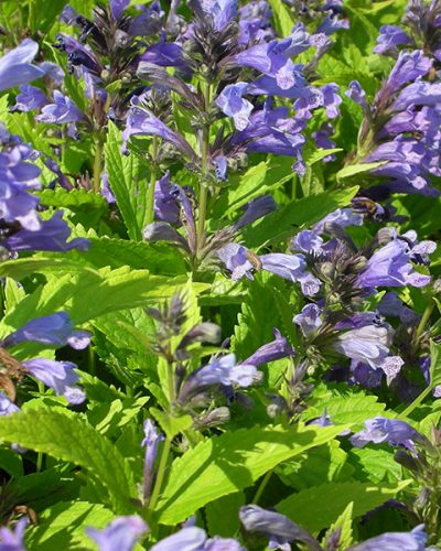 nepeta-subsessilis-blue-dreams