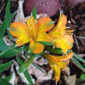 alstroemeria tangerine tango pp lys des incas inca lily jardins michel corbeil. Black Bedroom Furniture Sets. Home Design Ideas