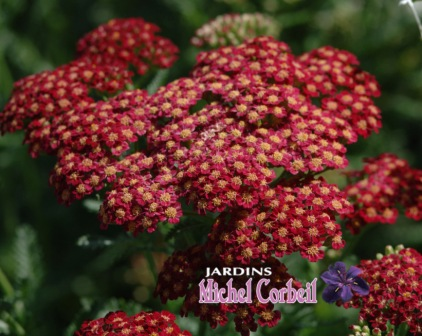 ACHILLEA 'Paprika' (millefolium) – Achillée – Common Yarrow