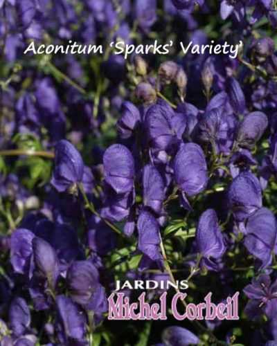 Aconitum x hybrida 'Spark's Variety' – Casque-de-Jupiter – Monkshood