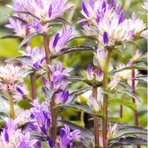 Fleurs En Forme De Clochette Bleu Violace Pale Et Blanche Jardins