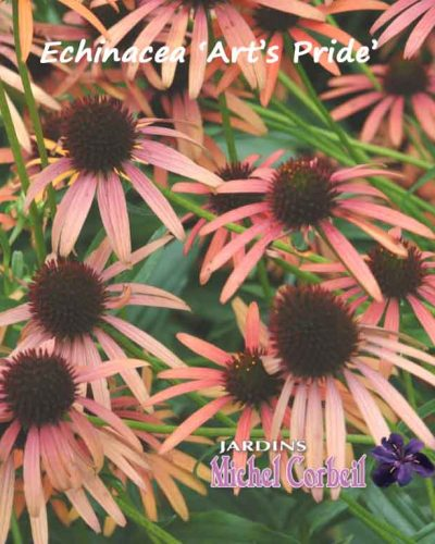 ECHINACEA 'Orange Meadowbrite'™ ( 'Art's Pride' ) – Échinacée – Coneflower