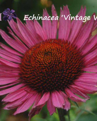 Echinacea 'Vintage Wine' (purpurea) – Échinacée – Coneflower