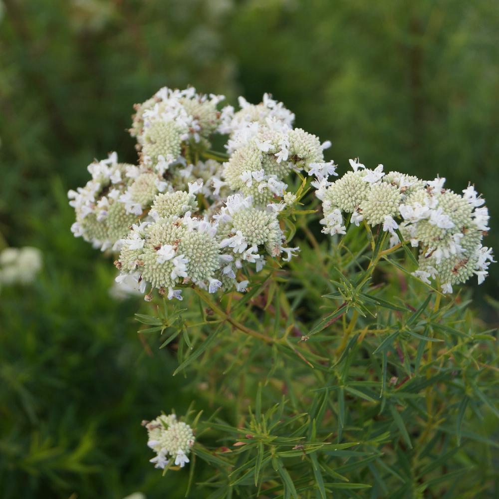 PYCNANTHEMUM Flexuosum -Menthe américaine – Big Leaf ...