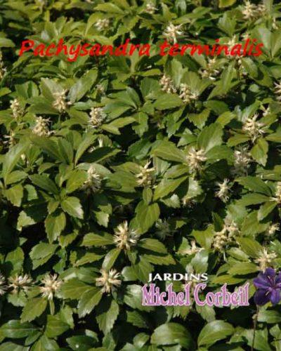 Pachysandra terminalis – Pachysandre du Japon – Japanese Spurge