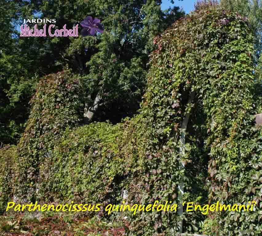 parthenocissus quiquefolia engelmanii vigne vierge virginia creeper jardins michel corbeil. Black Bedroom Furniture Sets. Home Design Ideas