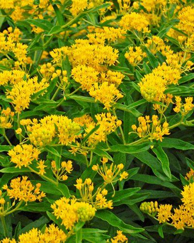 asclepia-tuberosa-hello-yellow-jardins-michel-corbeil.jpg