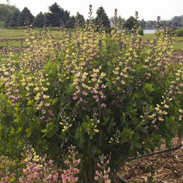 Baptisia decadence deluxe pink lemonade jardins michel for Jardin deluxe fleurs