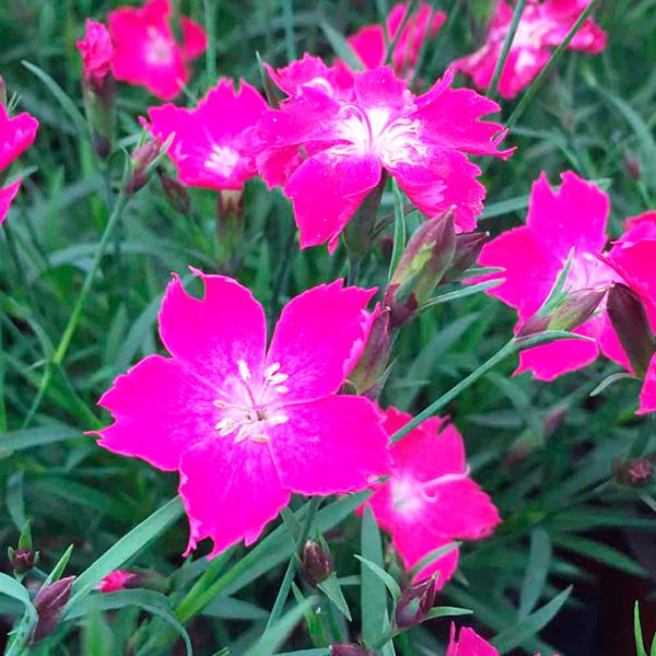 Dianthus-kahori-scarlet