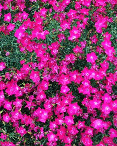 Dianthus kahori scarlet