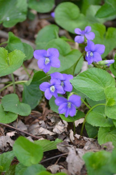 Aspects du mois de Mars - Page 8 Viola-sororia-common-blue-violet_main_467x705