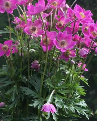 anemone-spring-beauty-pink-jardins-michel-corbeil