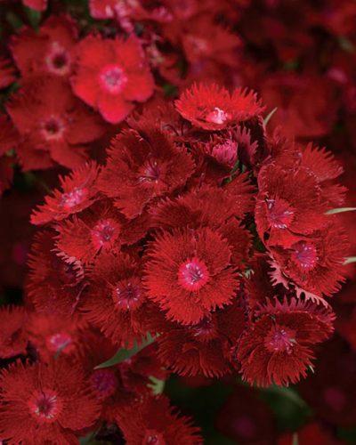 dianthus-Rockin-Red-jardins-michel-corbeil
