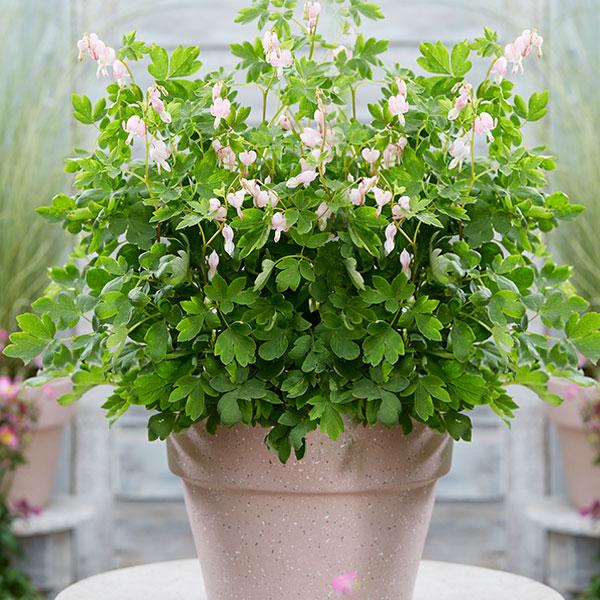 dicentra-espectabilis-cupid-jardins-michel-corbeil