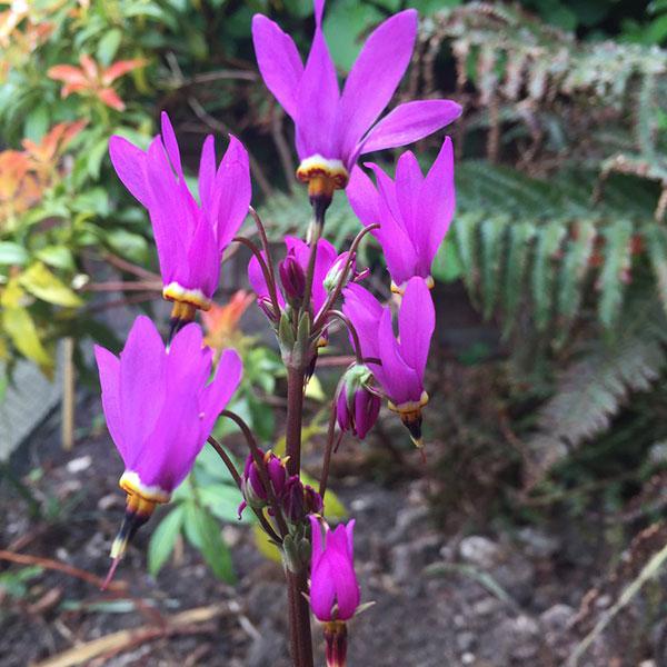dodecatheon-aphrodite-jardins-michel-corbeil