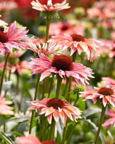 echinacea-playful-meadow-mama-jardins-michel-corbeil